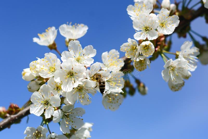 Bienen bestäuben die Blumen von Frühlingsbäumen Bienenzucht Insekte und Anlagen lizenzfreies stockfoto