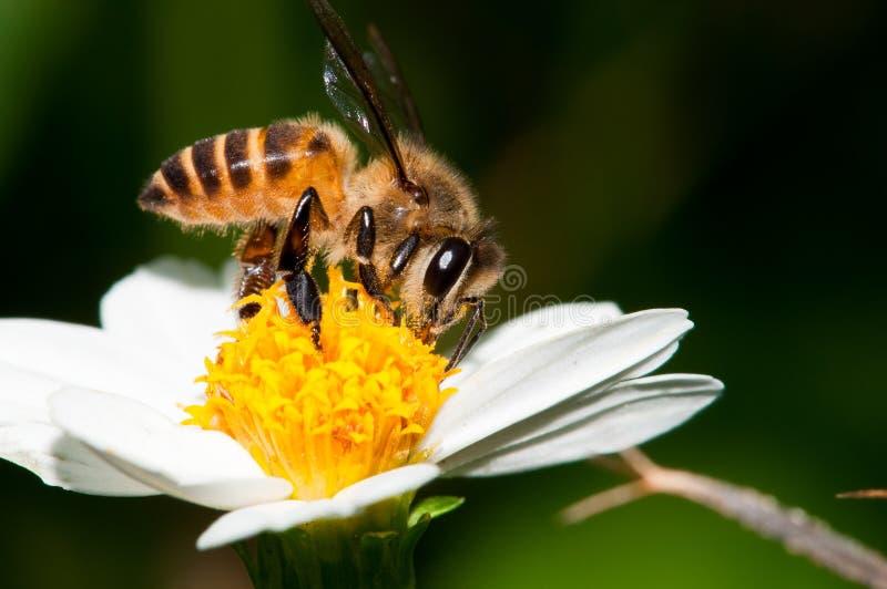 Bienen-Bestäubung lizenzfreies stockbild