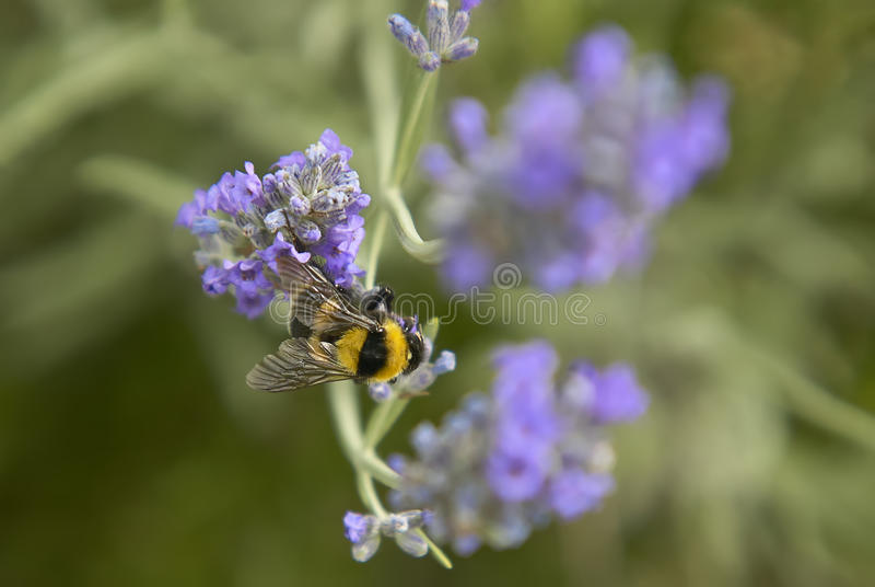 Bienen-Bestäubung lizenzfreie stockfotos