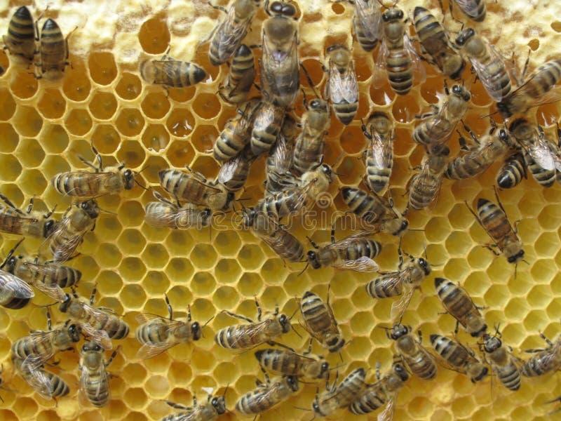 Bienen-Bienenstock stockfoto