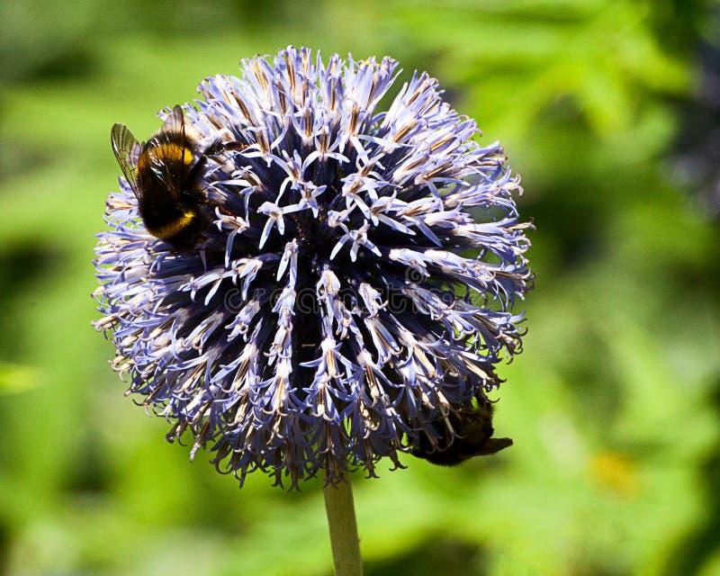 Bienen, die auf Ball-Lauch einziehen lizenzfreie stockbilder