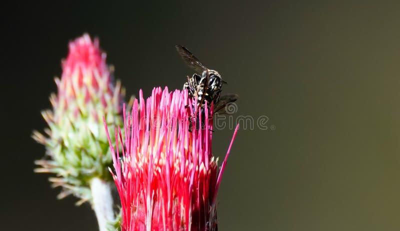 Bienen, die auf einer Pink-Blume verbinden lizenzfreies stockfoto