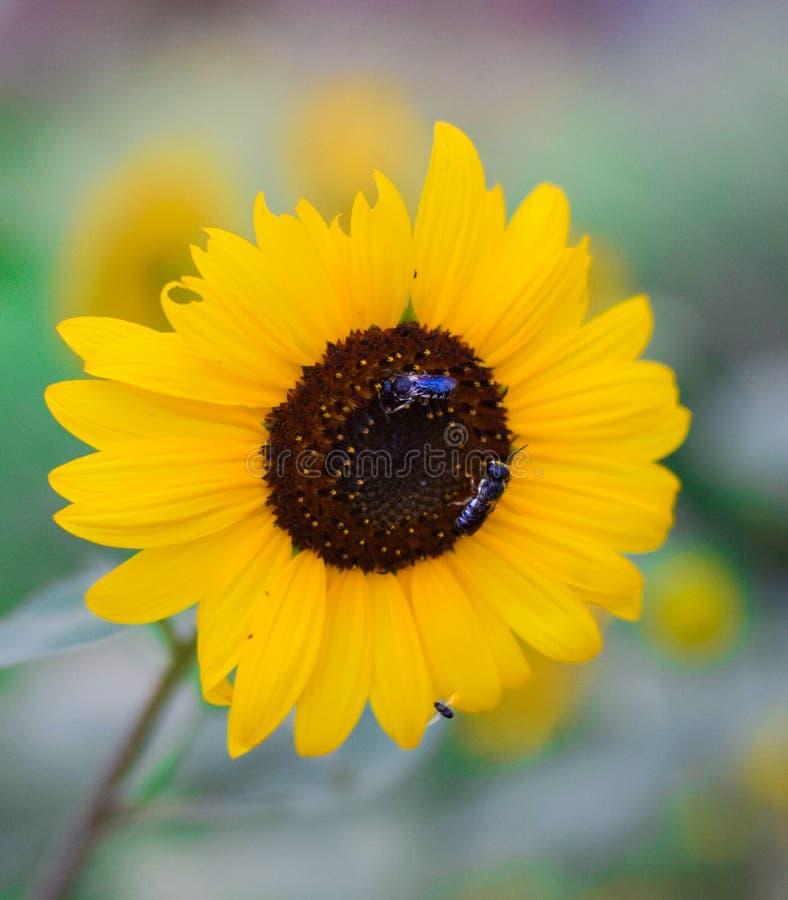 Bienen, die Nektar von der Sonnenblume extrahieren lizenzfreies stockfoto
