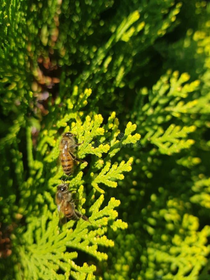 Bienen, die Bienen um Bäume sind lizenzfreies stockfoto