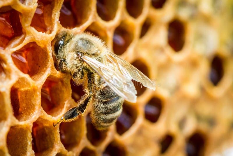 Bienen in einem Bienenstock auf Bienenwabe lizenzfreie stockfotografie
