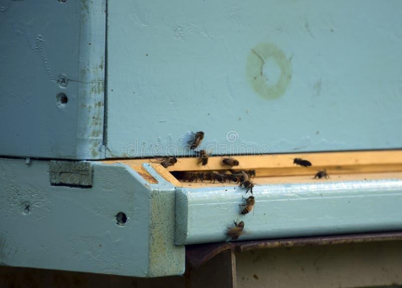 Bienen fliegen zum Bienenstock beekeeping Ein Schwarm von Bienen holt Honighaus apiary lizenzfreie stockfotografie
