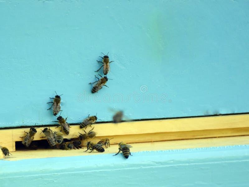 Bienen fliegen zum Bienenstock beekeeping Ein Schwarm von Bienen holt Honighaus apiary lizenzfreies stockbild