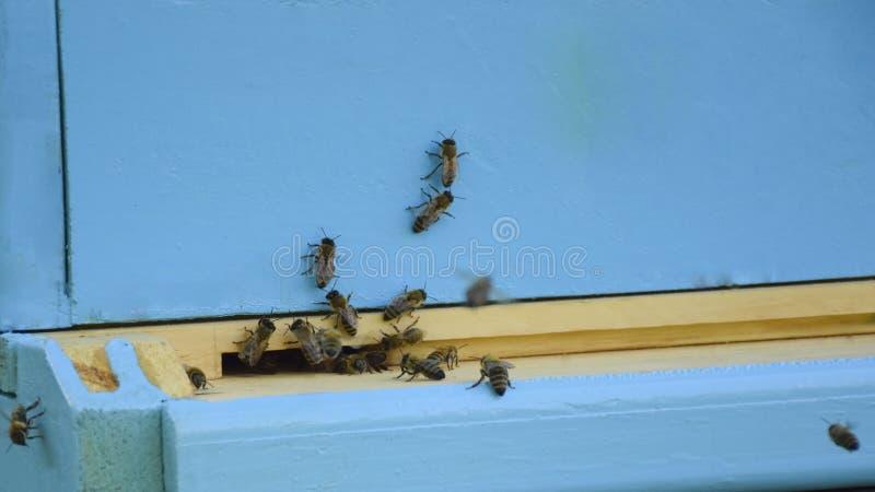 Bienen fliegen zum Bienenstock beekeeping Ein Schwarm von Bienen holt Honighaus apiary lizenzfreie stockfotos