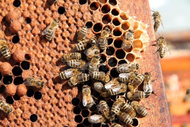 Bienen gruppiert auf Bienenwaben-Rahmen lizenzfreie stockbilder