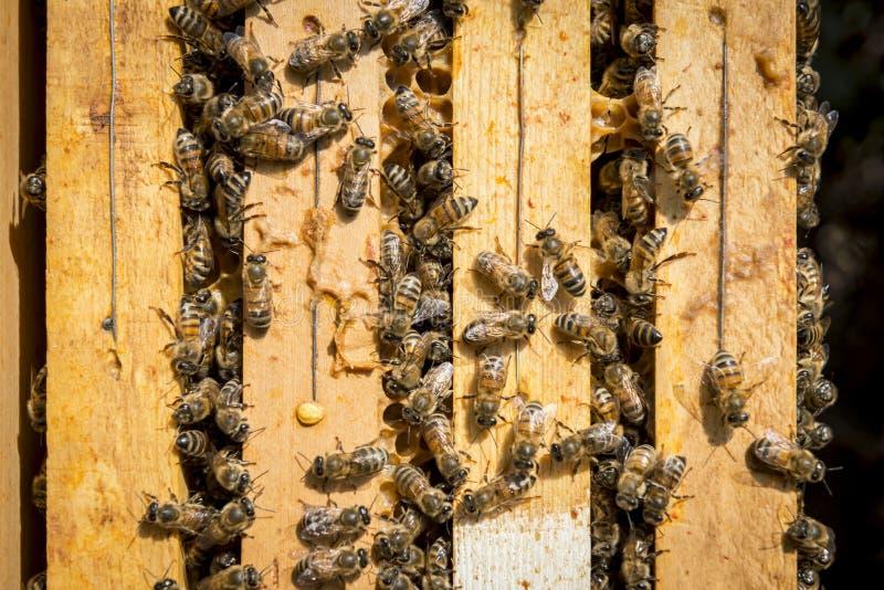 Bienen im Bienenstock lizenzfreie stockfotos