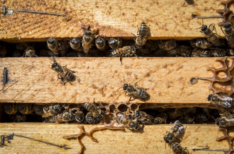 Bienen im Bienenstock stockbilder