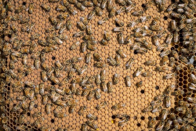 Bienen im Bienenstock lizenzfreie stockbilder
