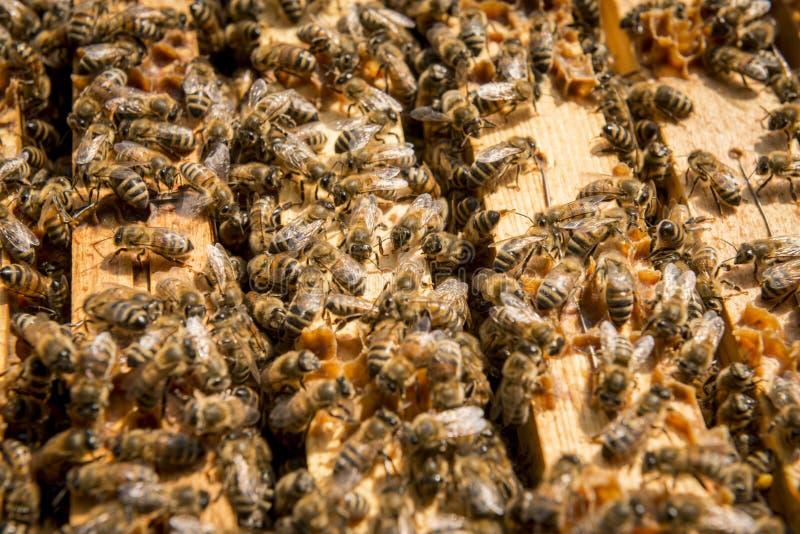 Bienen im Bienenstock lizenzfreies stockfoto
