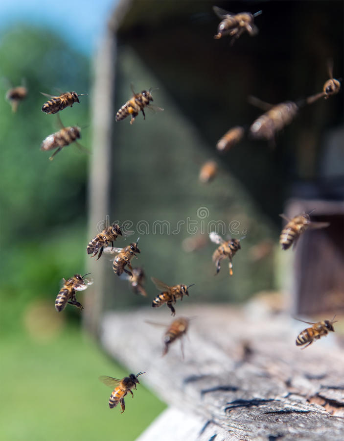 Bienen im Flug nahe Bienenstock stockfotografie