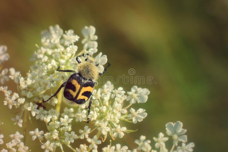 Bienen-Käfer, der auf weißer Blume klettert lizenzfreie stockbilder