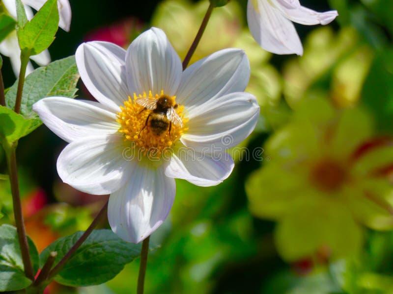 Bienen und Blumen stockbild