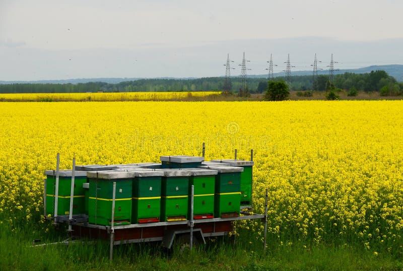 Bienen und Canola stockfoto