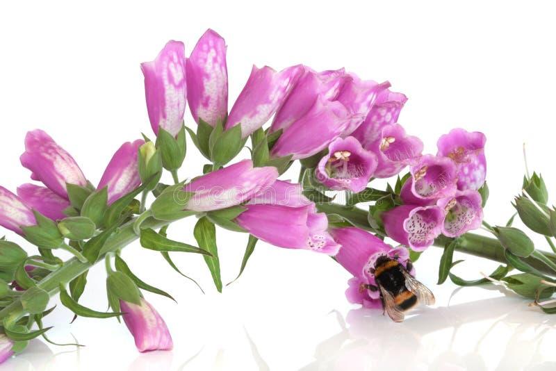 Bienen-und Fingerhut-Blumen stockfoto