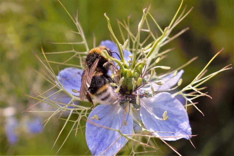 Bienen- und Nigella-Blume lizenzfreie stockfotos