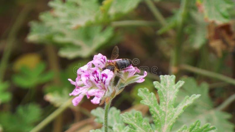 Bienen und sein Reichtum des Nutzens stockbilder