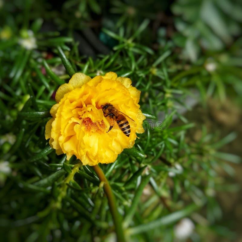 Bienenbestäubung auf gelbem rosafarbenem Moos lizenzfreie stockbilder