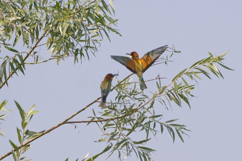 Bienenesser auf dem Baum lizenzfreie stockfotografie
