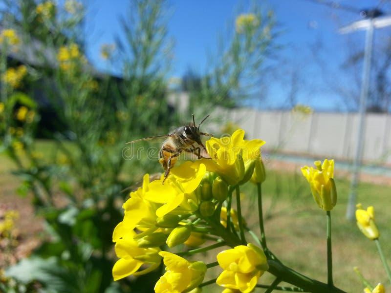 Bienenfranzosen, die eine Blume küssen lizenzfreie stockbilder