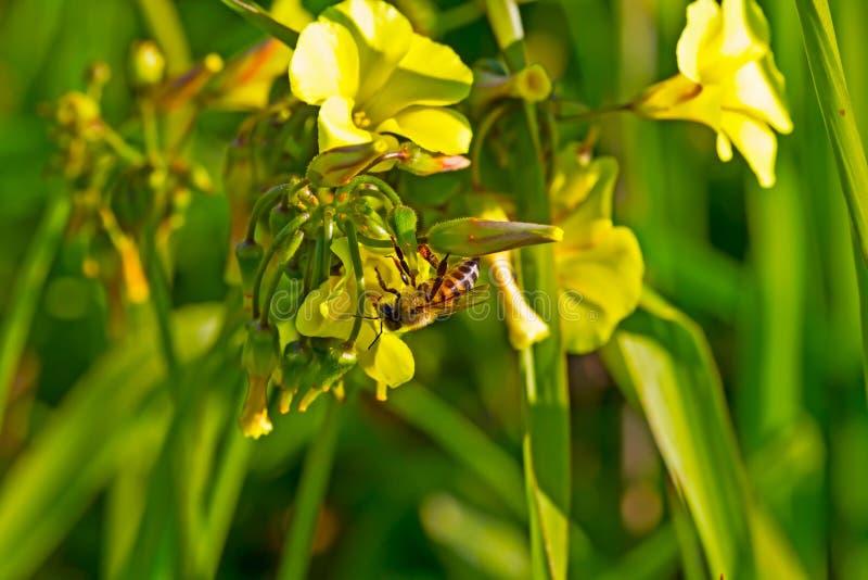 Bienenhängen umgedreht vom gelben Wildflower stockfoto