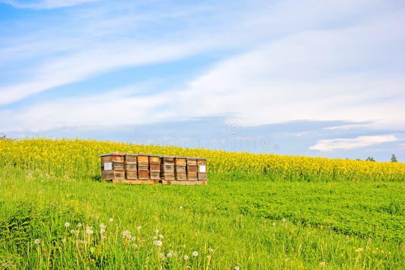 Bienenhaus auf Wiese - Canolafeld stockfotos