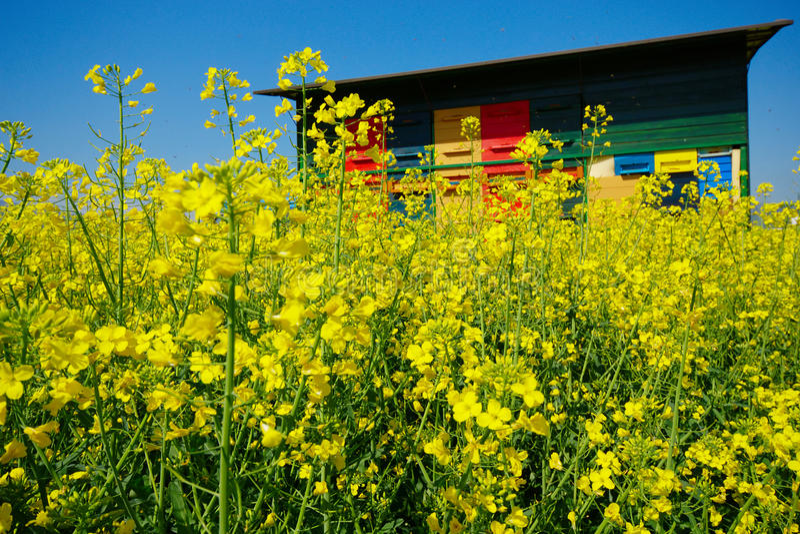 Bienenhaus und Canola lizenzfreie stockbilder