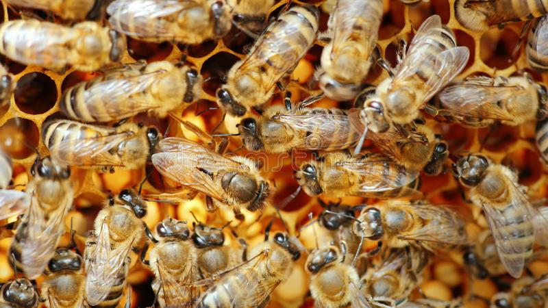 Bienenkönigin-Honigbiene legt Eier im Bienenstock stockbilder