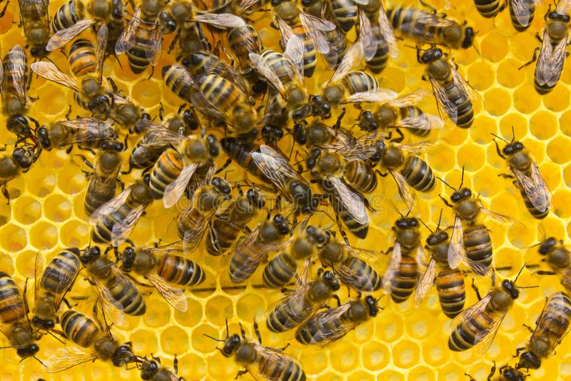 Bienenkönigin legt Eier in der Bienenwabe lizenzfreies stockfoto
