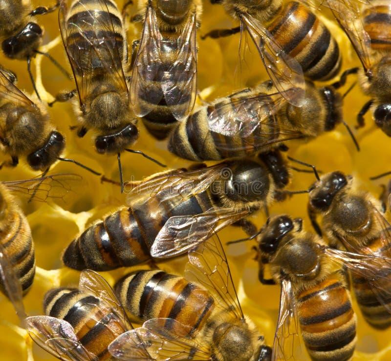 Bienenkönigin legt Eier in der Bienenwabe lizenzfreie stockfotografie