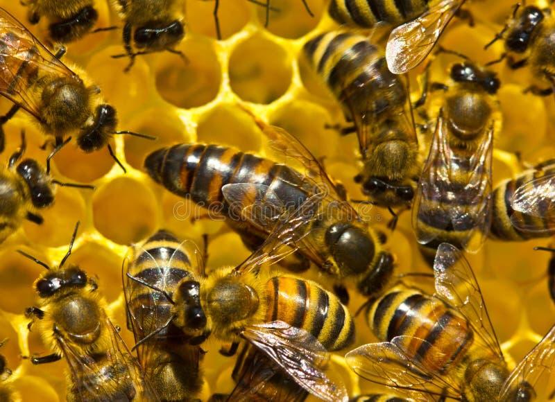Bienenkönigin legt Eier in der Bienenwabe stockbilder