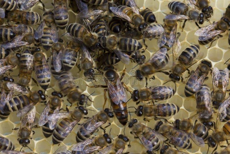 Bienenkönigin legt Eier in der Bienenwabe lizenzfreie stockbilder