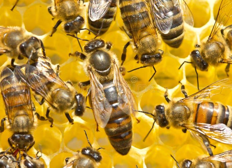 Bienenkönigin und Bienen stockbild
