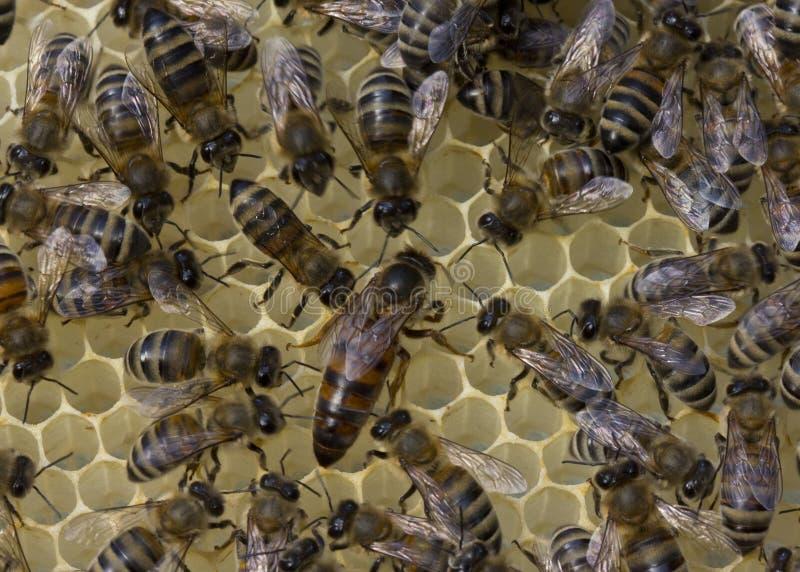 Bienenkönigin und Bienen lizenzfreie stockfotos