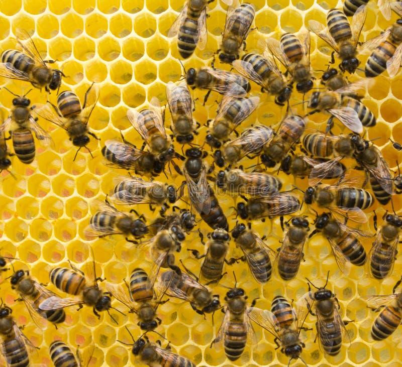 Bienenkönigin und Bienen lizenzfreies stockbild