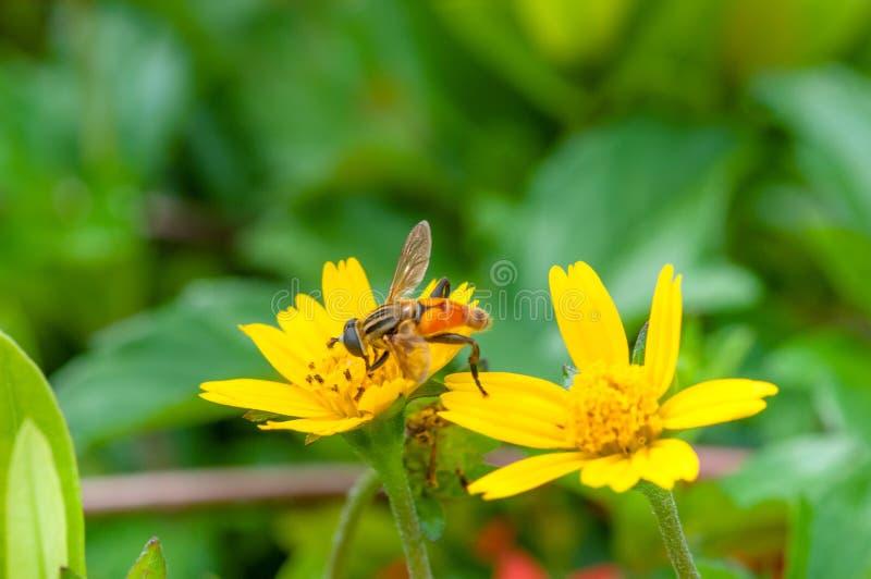 Bienenmakro in der grünen Natur stockfotografie