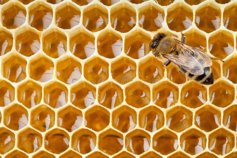 Bienenmakroschuß, der Honig montiert stockfotos