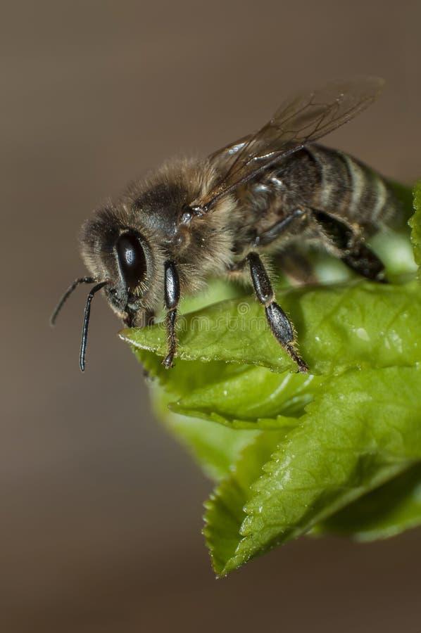 Bienenrest auf dem Blatt stockbilder