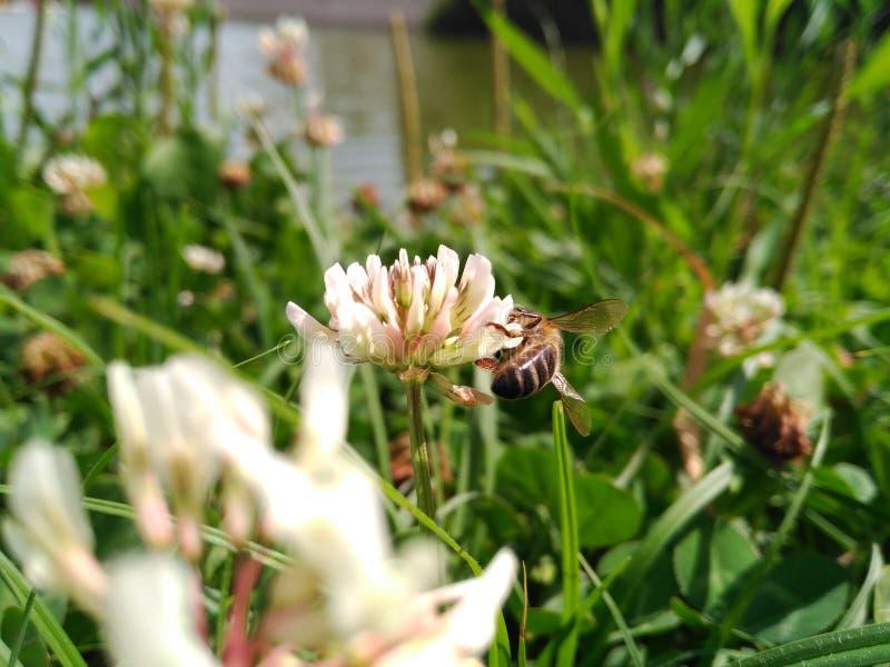 Bienensammelnbl?tenstaub lizenzfreie stockfotos