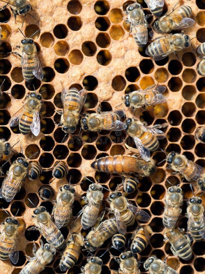 Bienenstock der Tätigkeit - Arbeitskräfte und Bienenkönigin innerhalb des Bienenstocks stockfotos