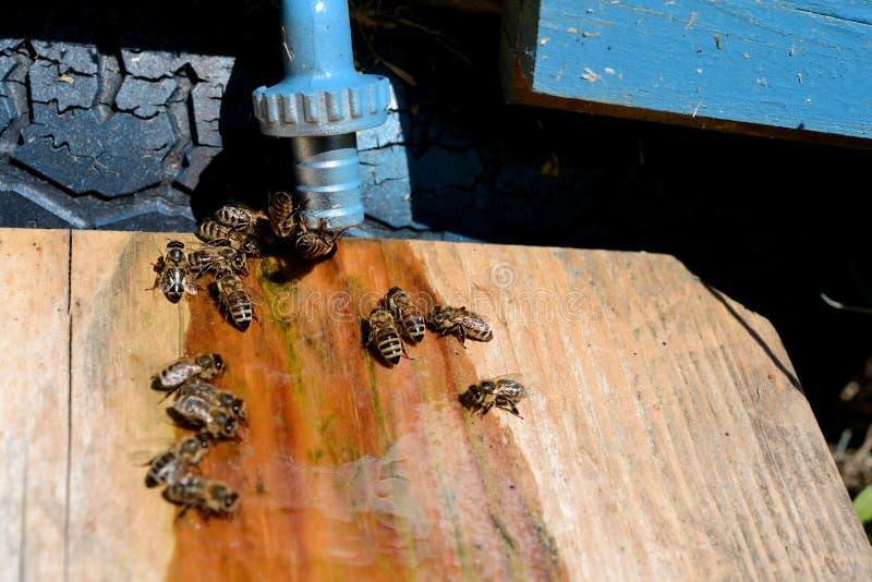 Bienentrinken lizenzfreies stockfoto