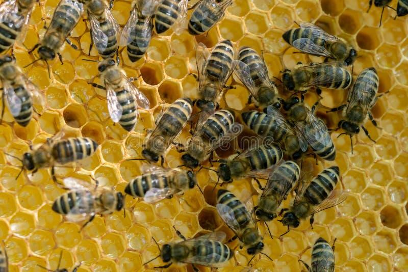 Bienenwabe voll von Bienen Imkereikonzept stockfotos
