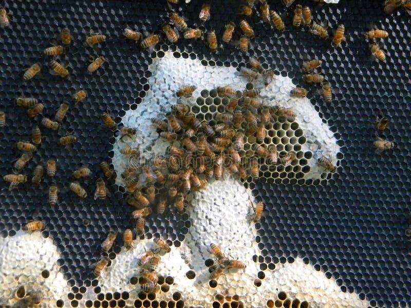 Bienenwabenkunst Pilz? stockfotos