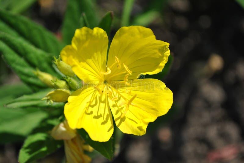 Biennis tarde-primavera común, estrella de la tarde, flor floreciente amarilla del descenso del sol, visión superior del Oenother foto de archivo libre de regalías