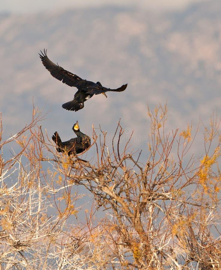 Bienvenue parmi des cormorans photos libres de droits