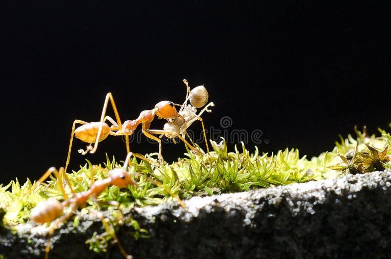 Bierze ja dom mrówka niesie mrówki na czarnym tle obraz royalty free