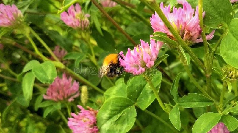 Biet på blomman, i mitt av röda växter av släktet Trifolium royaltyfri fotografi